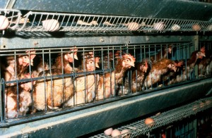 Industrial Chickens in Typical Battery Cages